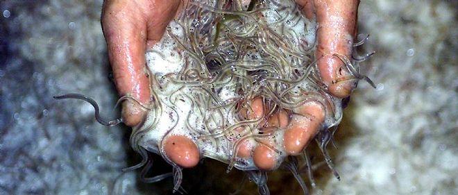 La civelle, une très jeune anguille, est désormais une espèce protégée contre le marché asiatique, grand consommateur