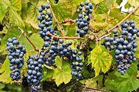Dans le raisin, la quasi totalité des polyphénols - si bénéfiques - se concentre dans la peau et les pépins.  ©GILE MICHEL