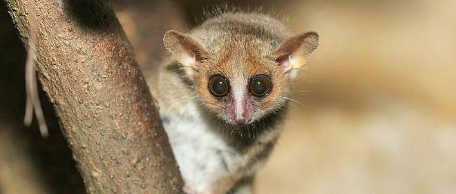 Le microcebus murinus est un hyperactif sexuel, mais la femelle est aussi très exigeante.