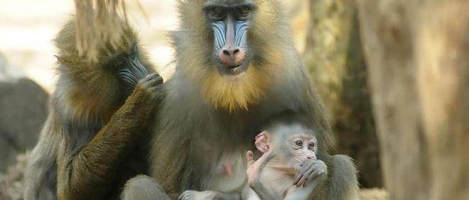 Les babouins sont-ils dangereux ?
