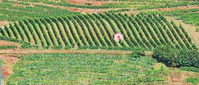 La surface de plantation des vignes françaises reculent.