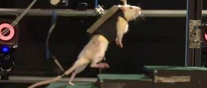 Des rats en grande partie paralysés ont été soumis à une stimulation électrique et chimique, associée à un harnais robotisé. Résultat : ils remarchent !