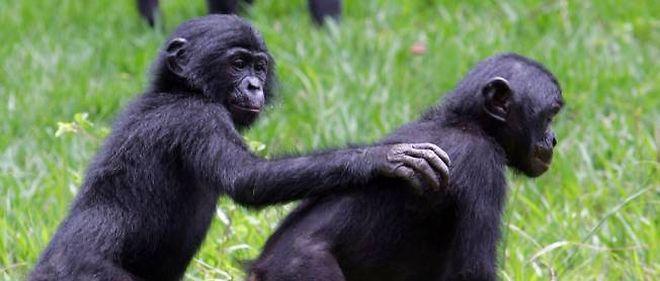 Les bonobos sont, génétiquement parlant, identiques à 98,7 % aux êtres humains.