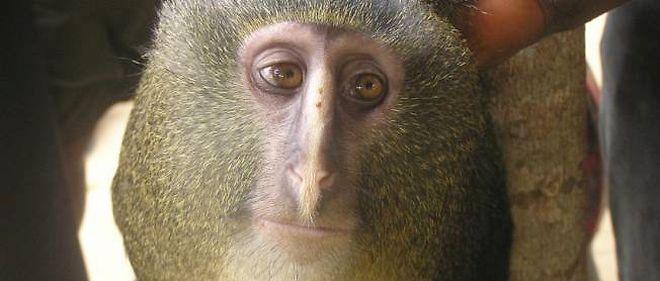 Le Cercopithecus lomamiensis ou Lesula, toute nouvelle espèce de singe découverte en République démocratique du Congo, est chassé pour sa viande et donc potentiellement menacé.