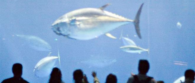 Le thon rouge peut peser jusqu'à 700 kilos pour 3 mètres de long.
