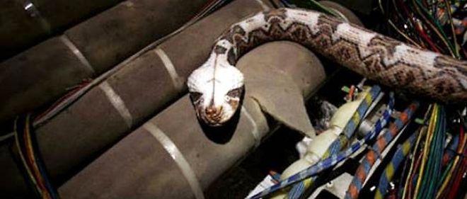 """Photo du film """"Des serpents dans l'avion"""". Le python passager clandestin de Qantas est, lui, resté dehors..."""