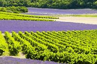 Vignoble de Provence ©Maceo - Fotolia