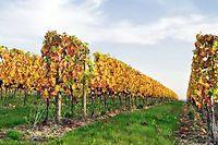 Vigne de Saint-Pourçain ©Maceo - Fotolia