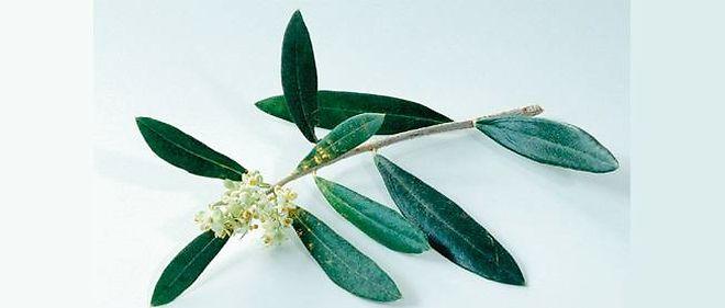 Image D Olivier spécial phytothérapie : l'olivier, pour que le coeur batte en paix
