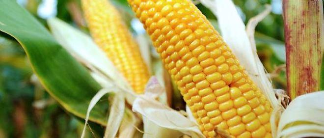 Le gouvernement français s'oppose à la culture des OGM.