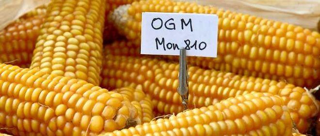 La multinationale est à nouveau autorisée à cultiver sa variété de maïs OGM.