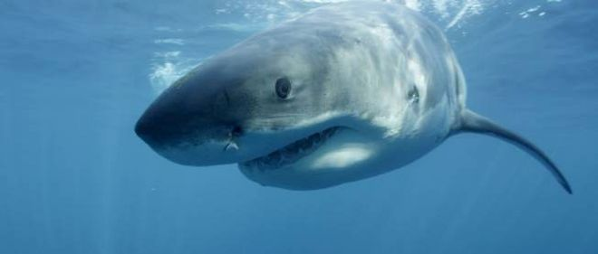 Image d'un requin blanc publiee par Discovery Channel. (Image d'illustration)