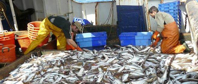 Des tonnes de merlans ont été pêchées en à peine quelques heures. Chaque poisson doit être vidé, un travail de titan.