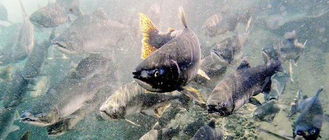 En s'échappant de leurs piscines d'élevage, les saumons menacent leurs congénères sauvages.