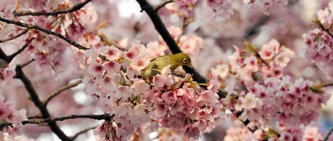 Un cerisier en fleurs au Japon, le 25 mars 2014.