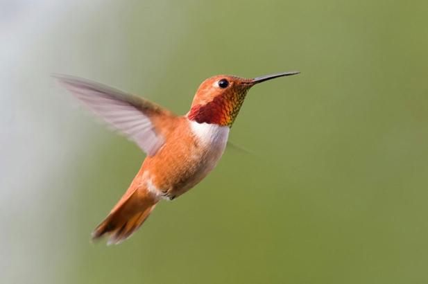 Un colibri roux © DR
