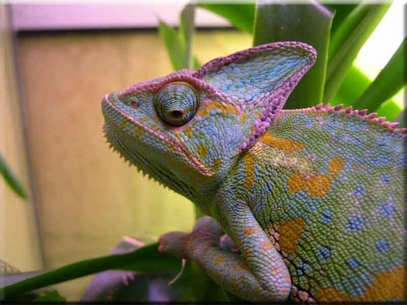 Un caméléon casqué © DR