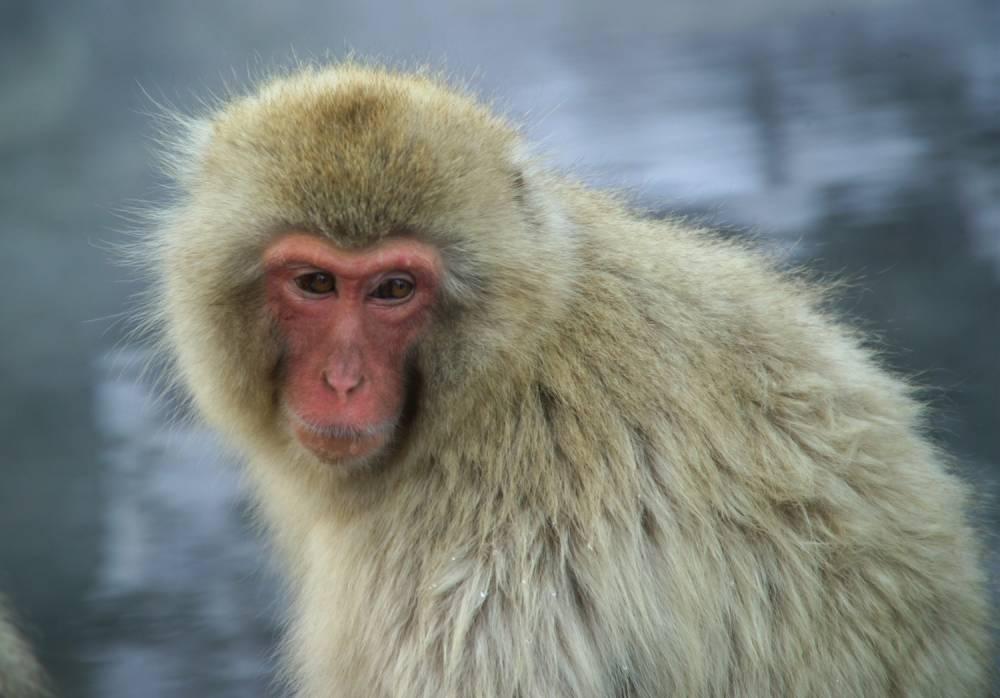 Un macaque japonais © DR