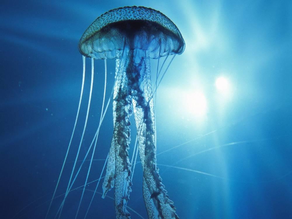 Une méduse bleue © DR