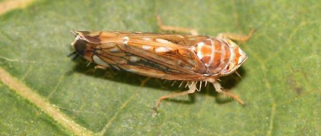 La cicadelle dorée, vecteur de la maladie, ressemble à une cigale, mais plus petite, à la carapace brune et bronze.