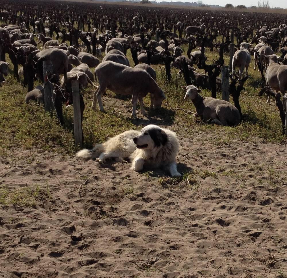 Listel, moutons dans les vignes. ©  DR