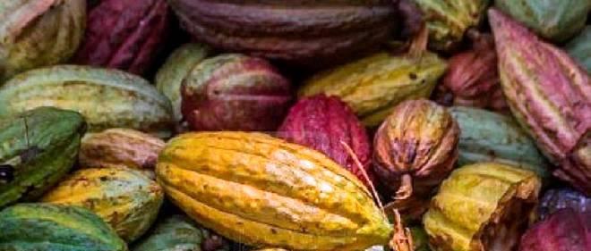 Cacao : le Congo veut relancer sa filière