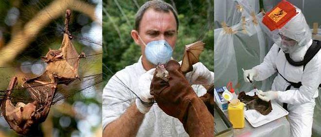 Capture, analyse, autopsie de spécimens de roussettes frugivores au Gabon. La traque in situ du virus dure depuis 1996.