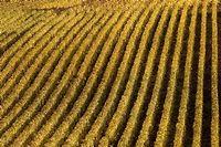 Pinot noir, Pinot meunier ou Chardonnay sont les cépages majoritaires dans l'élaboration du Champagne. ©Pierre HAVRENNE/PACHACAMAC-REA