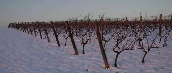 Vignes sous la neige, vignoble de Saint-Pourçain.