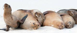 Des otaries échouées sur une plage. ©Biosphoto/AFP