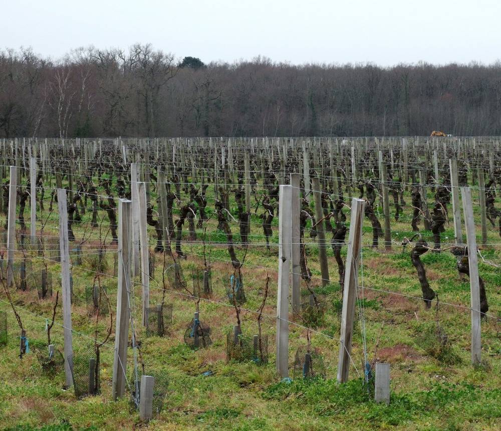 Vignes du château Clément Pichon, haut-médoc. ©  DR