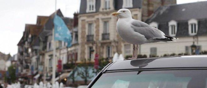 Un goéland argenté à Deauville. À Trouville la municipalité tente de réguler la prolifération de cette espèce protégée et qui se sent en ville comme chez elle.