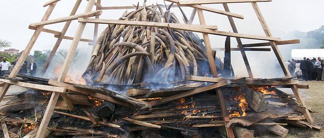 Écoutez la traduction. Presque cinq tonnes d'éléphants d'ivoire et des milliers d'ornements d'ivoire ont été brûlés au Gabon, l'Afrique occidentale Centrale en 2012.