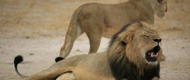 Le lion abyssin vedette, alias Cecil