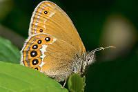 Jusqu'à quand croisera-t-on encore le mélibée ? Protégé, ce papillon est toujours présent dans le massif du Jura et dans le nord-est de la France. Pour le sauver, il faut préserver les milieux humides.