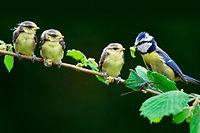 Le réchauffement affame les petits des mésanges bleues : les chenilles dont ils se nourrissent apparaissent beaucoup trop tôt avant leur naissance et sont donc trop grosses à avaler pour les oisillons.