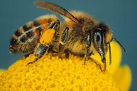 85 % des plantes cultivées dépendent des insectes pour leur pollinisation.