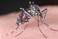 Le moustique-tigre propage la dengue et le chikungunya.