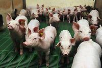 Les producteurs de porcs ne veulent pas d'un prix inférieur à 1,40 euro le kilo. ©DENIS CHARLET