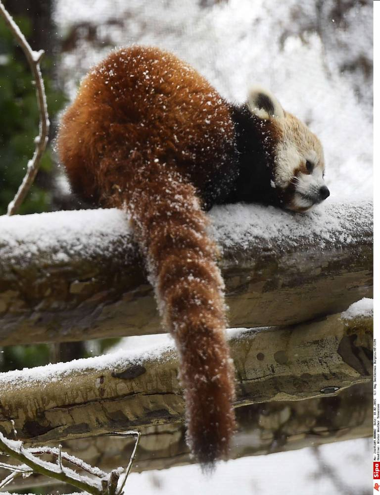 panda roux © Amy Smotherman Burgess/AP/SIPA