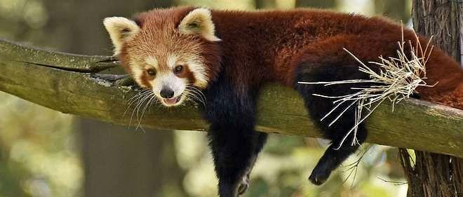 Le célèbre zoologiste français Frédéric Cuvier n'a pas hésité à proclamer le panda roux comme « plus mignon» des mammifèresen 1825.