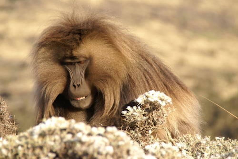 Un babouin Gelada dans le Parc de Simien.  ©  Christof Schenck