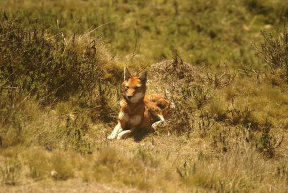 Un loup dans le Parc de Simien.  ©  Christof Schenck