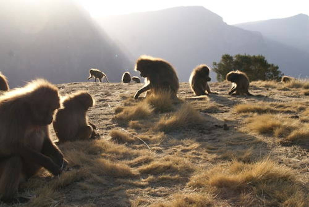 Des babouins Gelada dans le Parc national de Simien.  ©  Christof Schenck