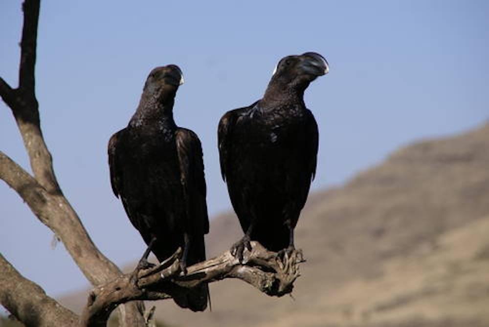 Des corbeaux dans le Parc national de Simien. ©  Christof Schenck