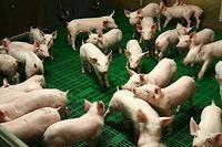 Les porcelets en post-sevrage, qui seront engraissés dans l'élevage de Michel pour devenir des