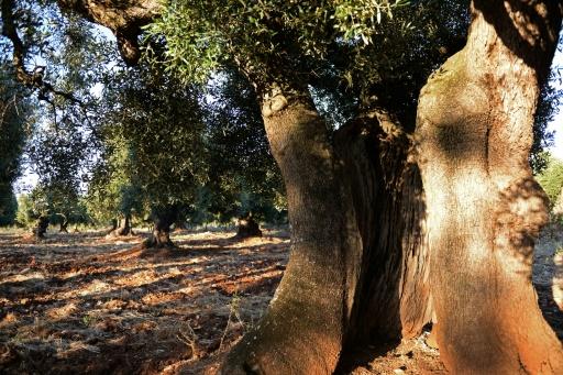 Des oliviers à Ostuni, dans le sud de l'Italie, le 29 mai 2015 © MARIE-LAURE MESSANA AFP/Archives