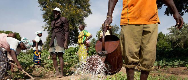 Un homme arrose des légumes dans le village de Kieryaghin, au Burkina Faso.