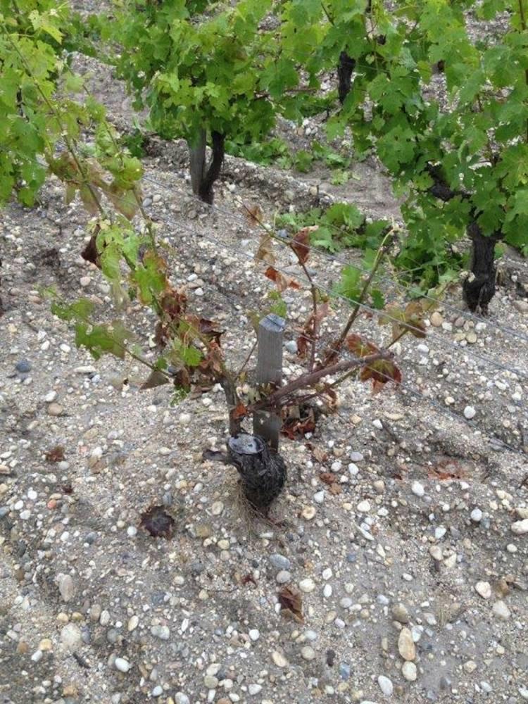 Cep de vigne affecté par l'esca. ©  DR