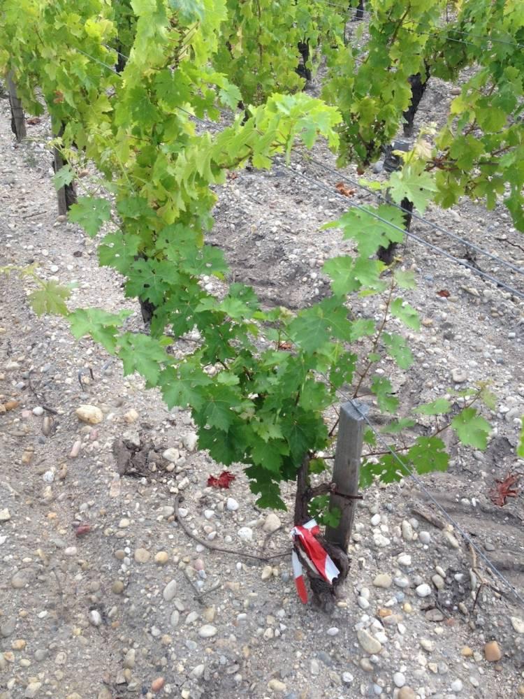 Cep de vigne affecté par l'esca, ayant subi un curetage. ©  DR